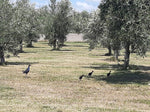 Tips for pruning your Olive Tree at Home