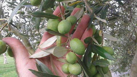 Olive Harvest 2017 - Tips for you at home!