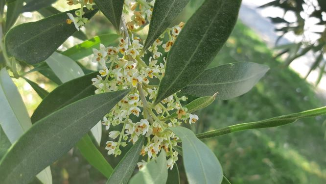 Massive Olive Tree Flowering 2019
