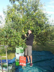 Hand picking olives at Telegraph Hill