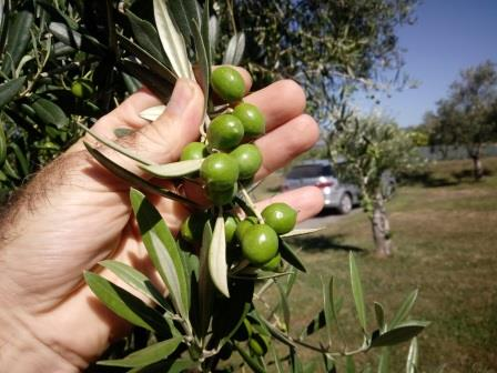 Telegraph Hill Olives NZ