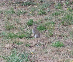 Telegraph Hill rabbit