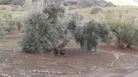 Traditional Olive Tree Farming Spain Telegraph Hill