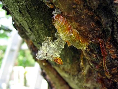 tree resin dripping