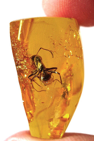 ant trapped in amber (inclusion)