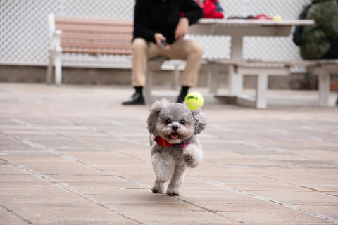 Pebble the Poodle chasing after a mini Kong Squeakair Ball