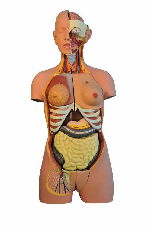 Biology/Medical Teaching Anatomy Dual Sex 24 Part Torso