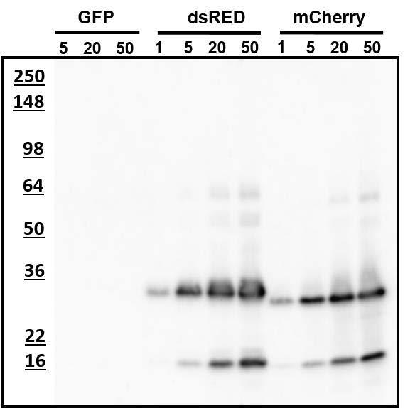 Western blotting of recombinant fluorescent proteins with AvesLabs Chicken anti-mCherry antibody. The indicated (nanogram) amounts of each purified recombinant fluorescent protein was loaded on a gel and analyzed by Western blotting. AvesLabs Chicken anti-mCherry antibody recognizes ng amounts of mCherry protein and the related dsRED protein but does not show any reactivity with GFP.