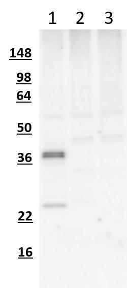 Western blot of COS7 cells transfected with mCherry-myc-FLAG (lane 1), GFP (lane 2), or mock transfected cells (lane 3) using chicken α-mCherry antibody showing the expected staining for mCherry in lane 1 and no staining in GFP or untransfected cells. The ~37kDa major band in lane 1 represents full-length mCherry-myc-FLAG while the shorter ~24kDa band represents an mCherry degradation product.