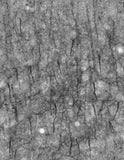 adult rat Cortex immunohistochemistry of axon initial segments.
