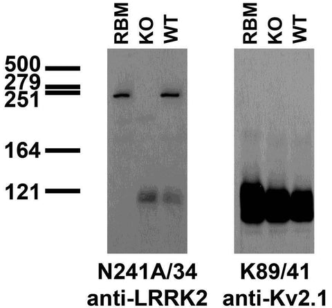 Immunoblot versus crude membranes from adult rat brain (RBM) and wild-type (WT) and LRRK2 KO mouse brains probed with N241A/34 (left) and K89/41 (right) TC supe. Mouse brain samples provided by Xiaojie Li, Ted Dawson and Valina Dawson (Johns Hopkins University).
