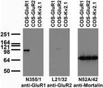 Transfected cell immunoblot: extracts of COS cells transiently transfected with untagged GluR1, GluR2 or Kv2.1 plasmid and probed with N355/1 (left), L21/32 (middle) or N52A/42 (right) TC supe.