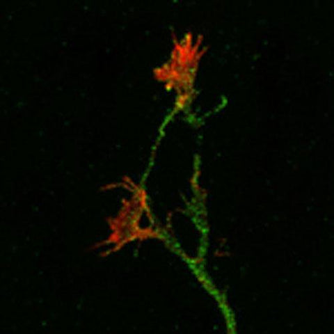 Mouse cortical neurons in culture. The green staining is APP-immunoreactivity, using fluorescein-labeled goat anti-chicken IgY (Product #F-1005, Aves Labs) and rhodamine-labeled phalloidin as a counterstain. Note the APP-staining of the neurites and growth cones, and the phalloidin-staining limited to the distal growth cones and filapodia. Photomicrograph courtesy of Dr. Philip Copenhaver (OHSU).