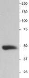 Western blot showing a single band at the correct MW (47 kDa).