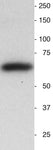 Western blot of neonatal mouse brain homogenate.  25 ug of total protein added to each lane.  Note the single band at the correct molecular weight.  Hoda Ilias, Aves Labs.