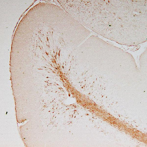 Immunostaining of adult mouse cerebellum, showing staining in the granule cell layer and white matter tracts.  Anti-vimentin antibody was used at a dilution of 1:1000; HRP-labeled goat anti-chicken IgY was used at a dilution of 1:500.