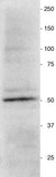 Vimentin western blot of a homogenate prepared from a neurosphere culture.  Vimentin antibody was used at a 1:2000 dilution; Secondary, HRP-labeled goat anti-chicken antibody (Aves Labs, H-1004) was used at a 1:1000 dilution.  Hoda Ilias, Aves Labs.