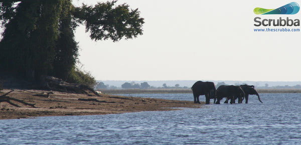 Elephants on the Chobe river, Botswana