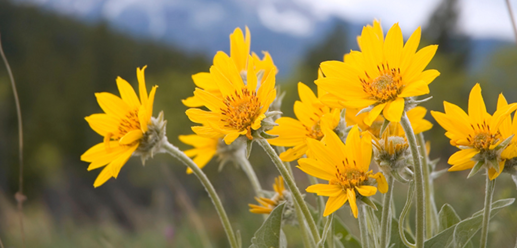 Focus on Ingredients: Arnica