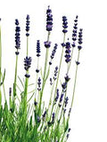 lavender natural organic essential oil aromatherapy
