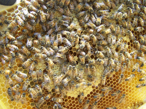 Honeybees at hive with queen at center