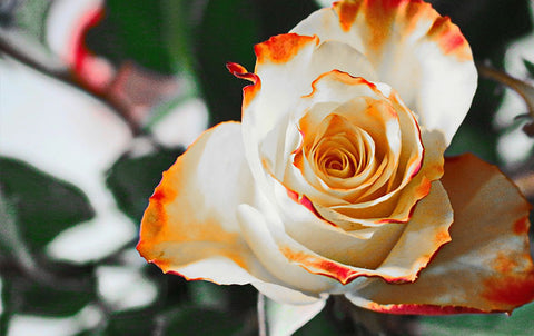 The Magical Benefits of Rose Aromatherapy