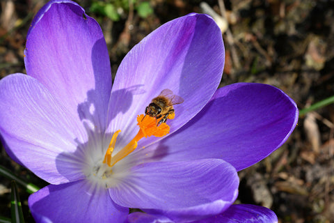 Bee collecting nectar from purple crocus