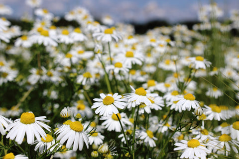 Field of German Chamomile