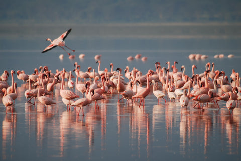 Flamingoes wading on lake in Kenya