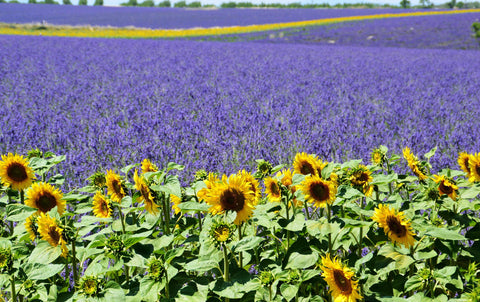 Lavender field in Provence France Sunflowers at edges