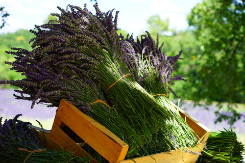Fresh bunches of lavender in a farm crate
