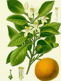 neroli all natural essential oil flower