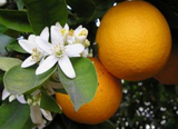 neroli orange blossom flower aromatherapy all natural essential oil