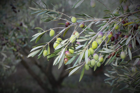 Close-up of Olives and Olive leaves