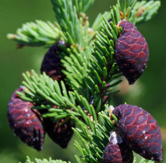 Essential Oil - Black Spruce