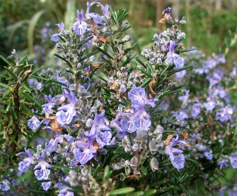 Essential Oil - Rosemary 1/8 oz