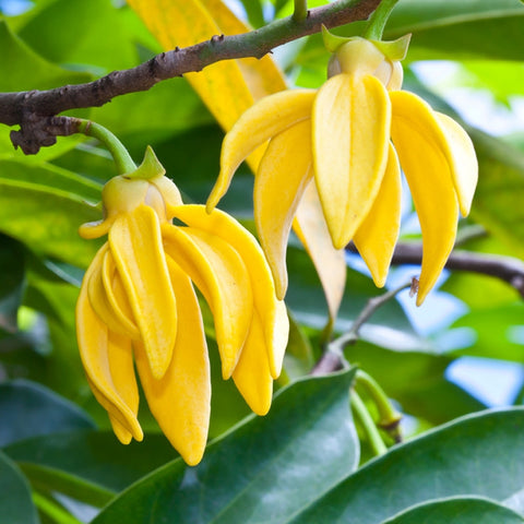 Essential Oil - Ylang Ylang (Organic) 1/8 oz