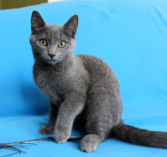 I'm Scarlett, the Russian Blue mix girl!