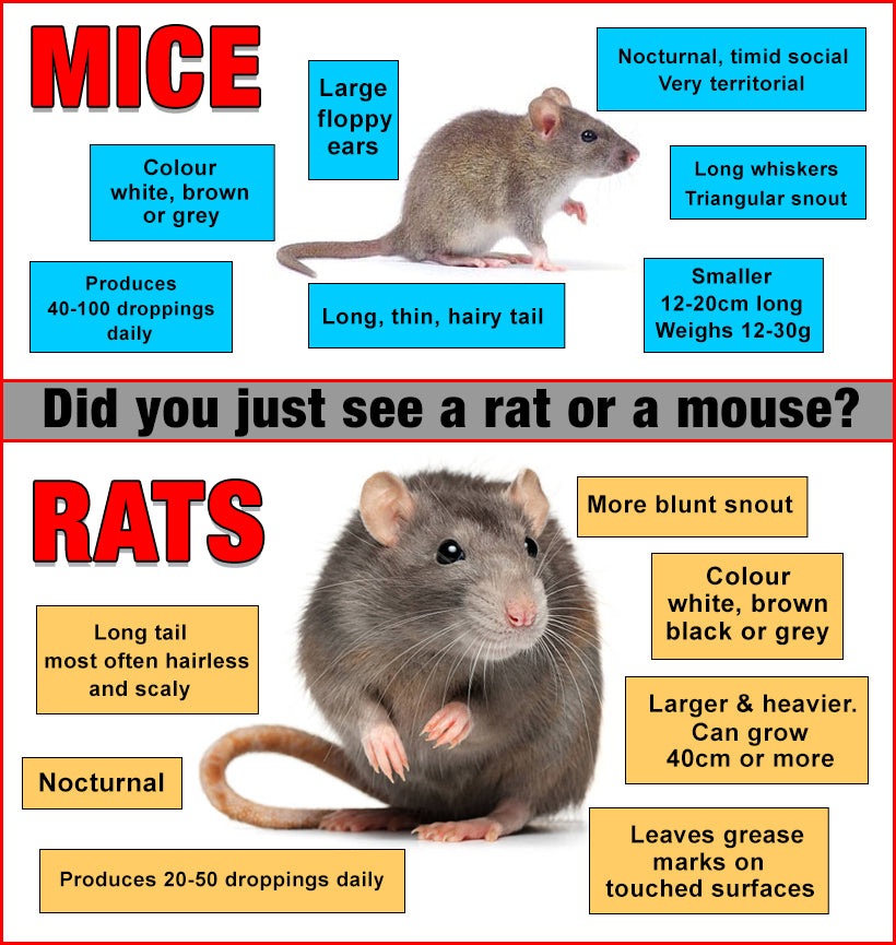 What is the Difference Between Rats and Mice?