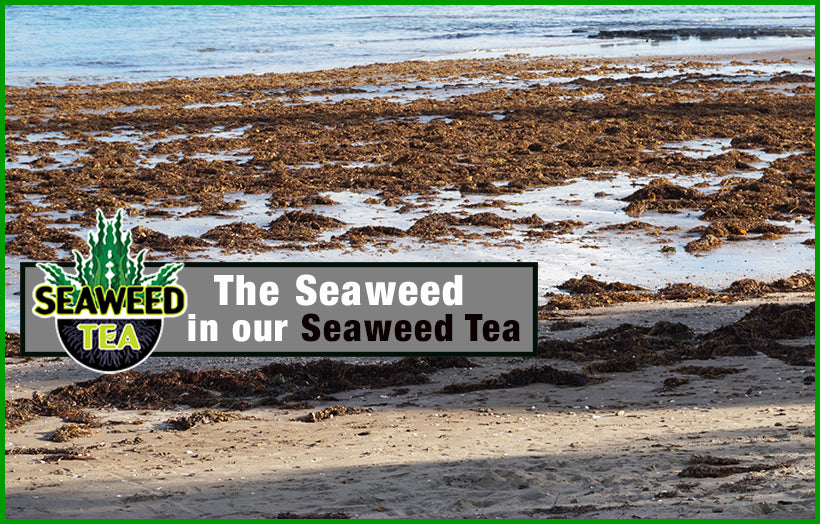 Check out why our Seaweed Tea is so Good