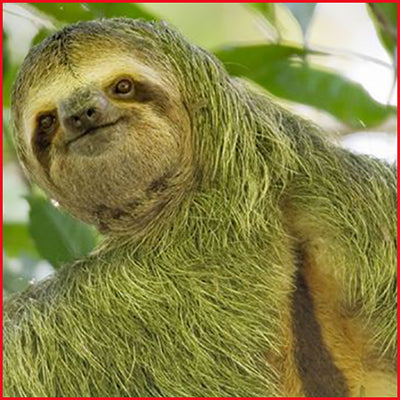 Sloths Grow Moss Because They Move So Slowly