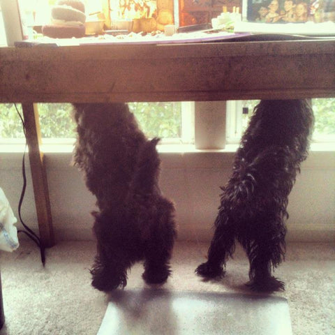 Scottish terriers on their hind legs under a desk