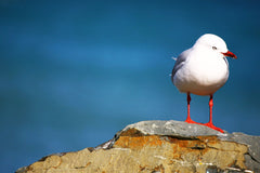 Lyall Bay Sea Gull