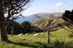 Makara Sheep