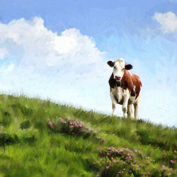 Cow in the Field