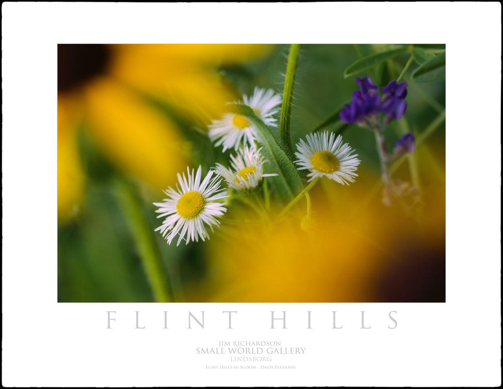 Daisy Fleabane - Flint Hills of KS