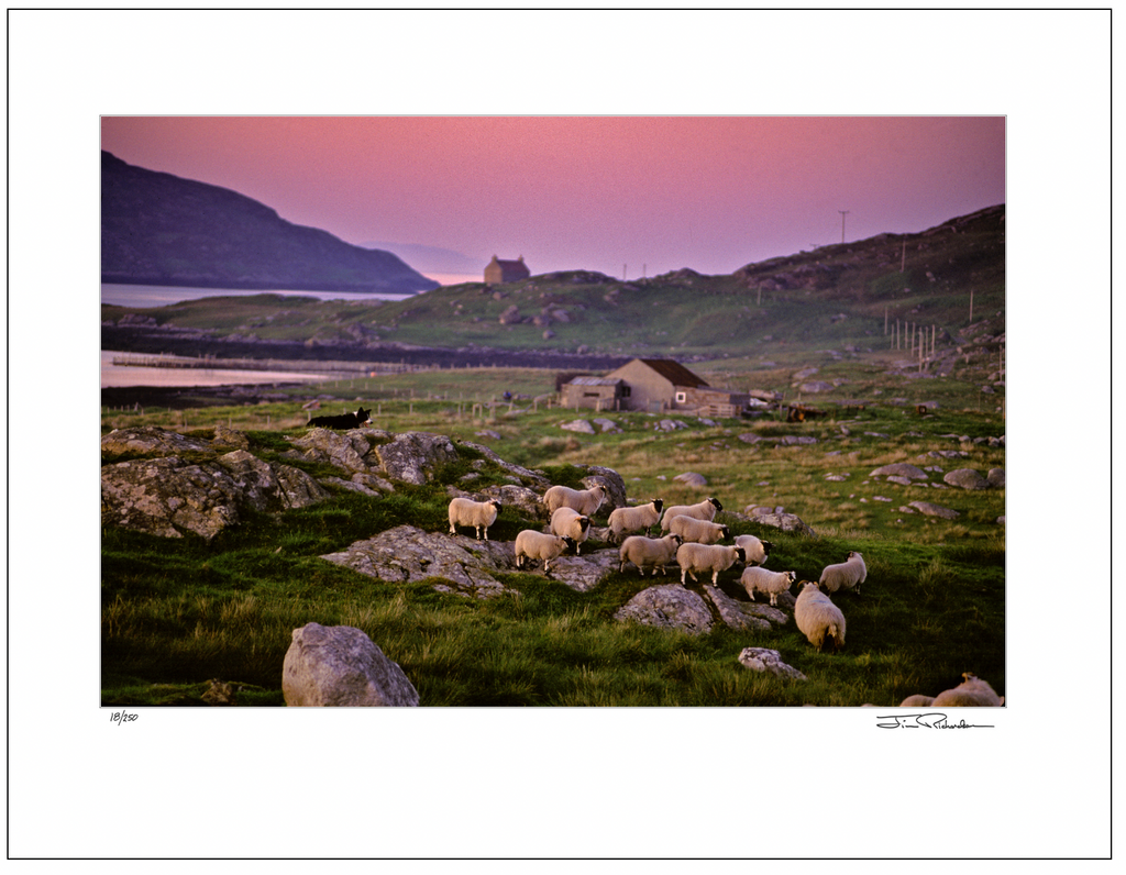 Sheepdog and Sheep, South Uist, Scotland
