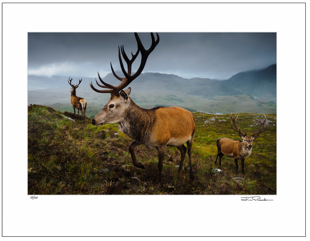 Red Deer, Highlands,  Scotland