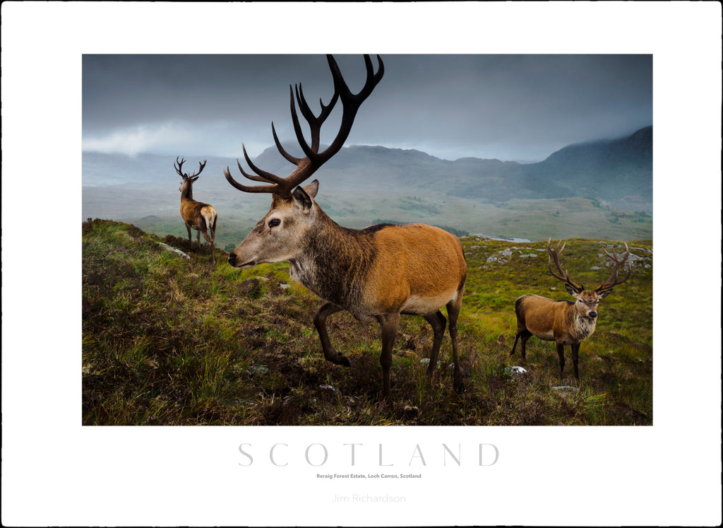 Deer at Reraig Forest Estate - Scotland