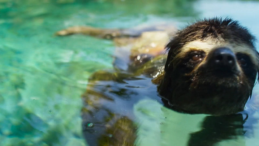 The Astonishing Feat of Sloth Swimming